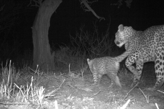 Camera trap image of leopard mother and cub