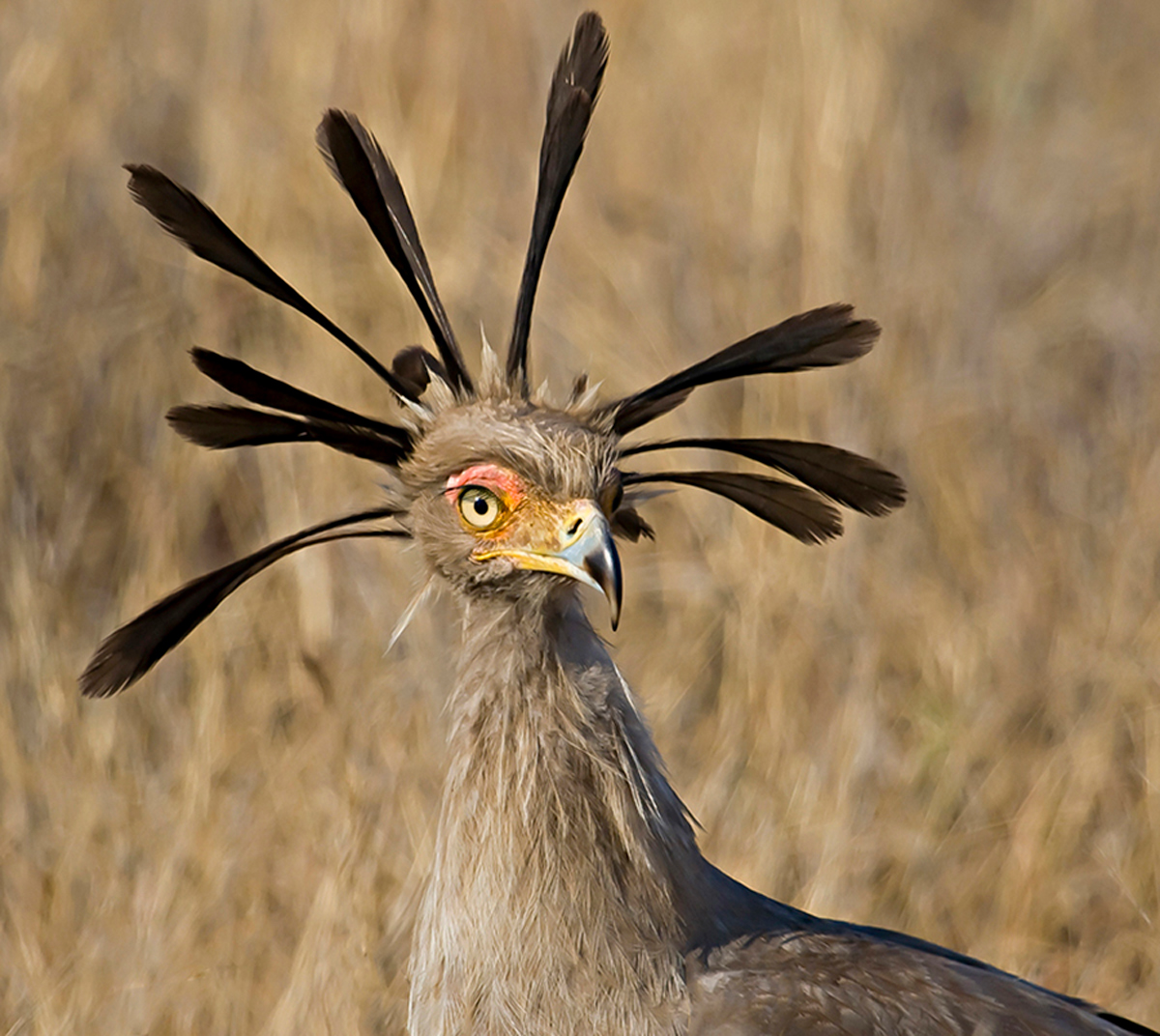 A subadult secretary bird spotted in Kruger National Park, South Africa © Carol Barry