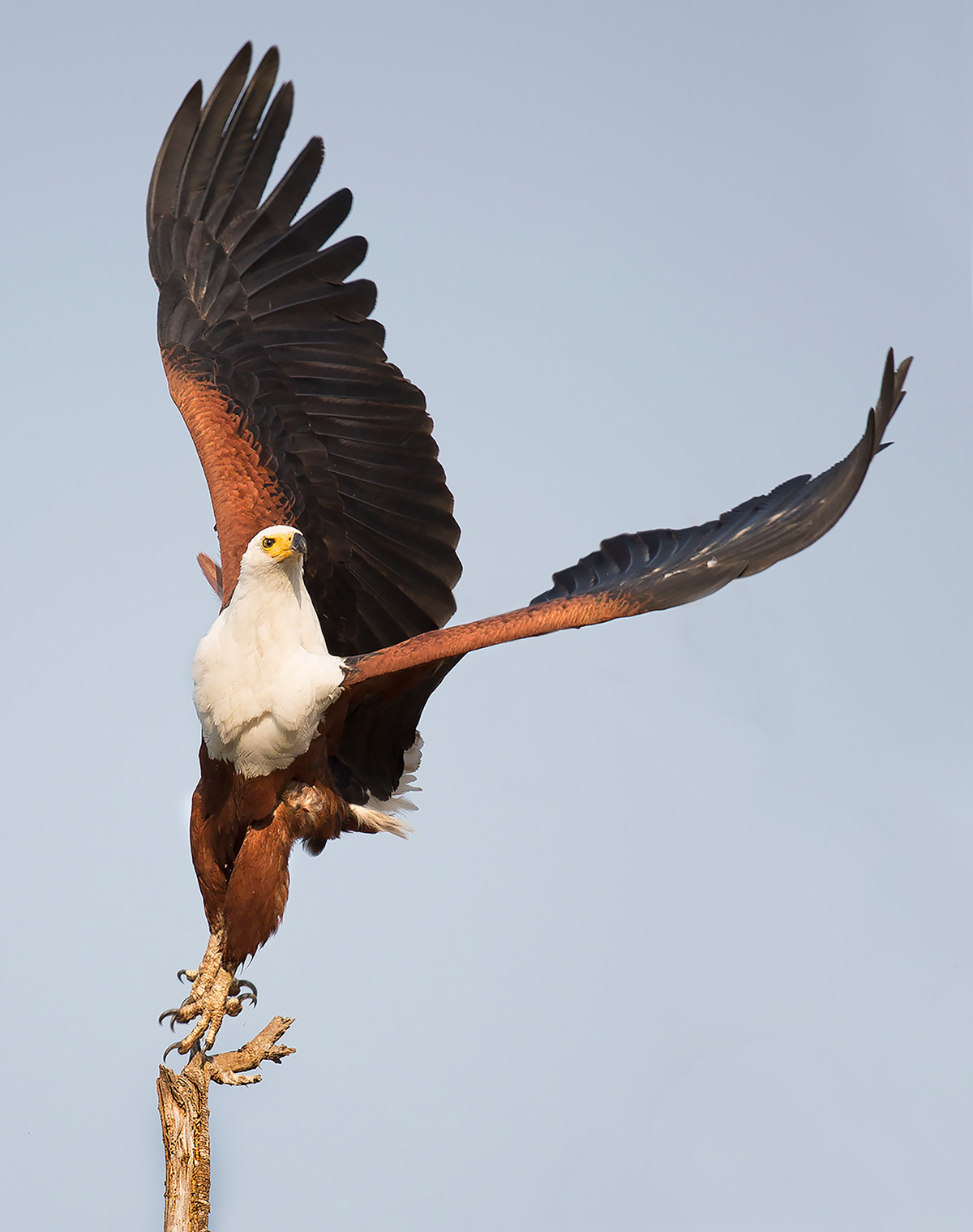 A fish eagle takes flight in Lower Zambezi National Park, Zambia © Carol Barry