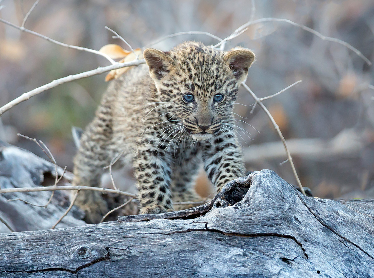 A leopard cub spotted in Sabi Sands Private Game Reserve, South Africa © Carol Barry