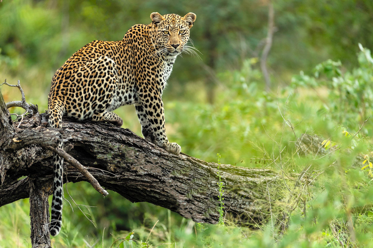 A leopard sits on a fallen tree in Ingwelala Private Nature Reserve, South Africa © Charlie Lynam