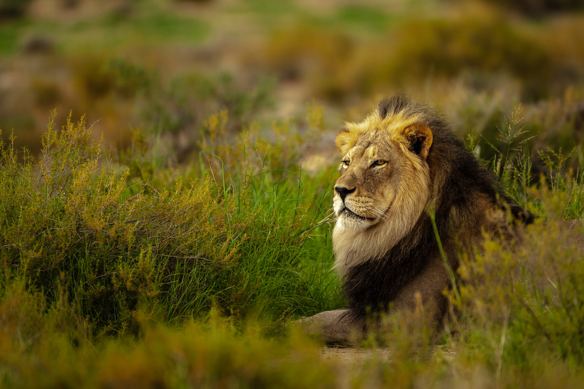 A regal lion spotted in Kgalagadi Transfrontier Park, South Africa © Charlie Lynam