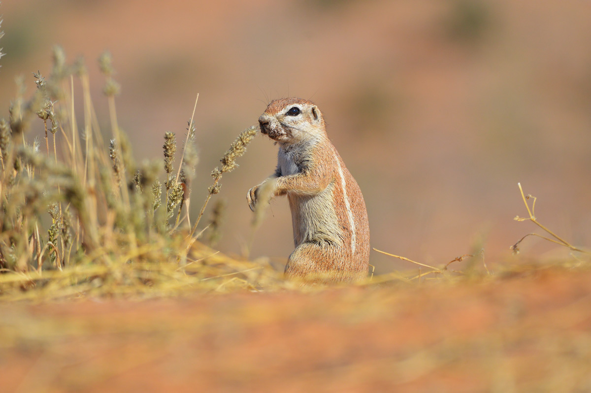 A Cape ground squirrel spotted in Kgalagadi Transfrontier Park, South Africa © Charmane Baleiza