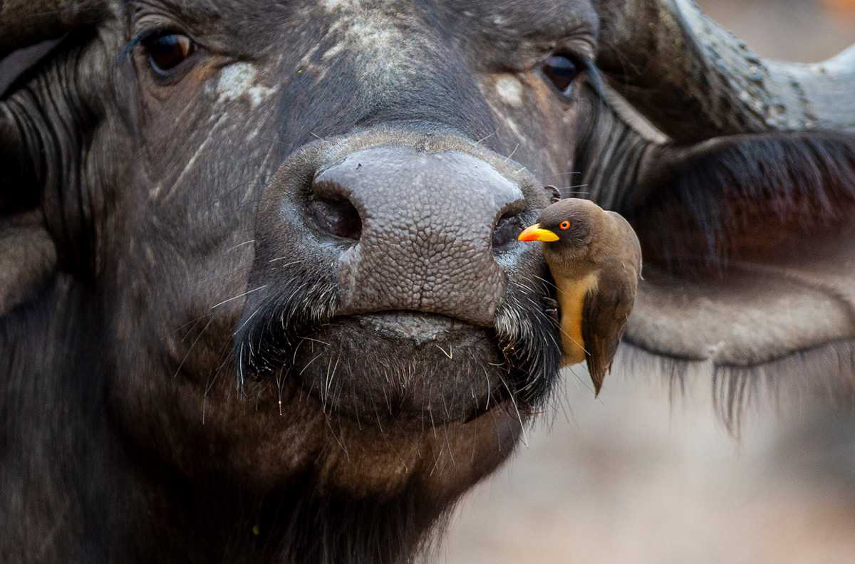 Buffalo and yellow-billed oxpecker in Kruger National Park, South Africa © Colin Taylor
