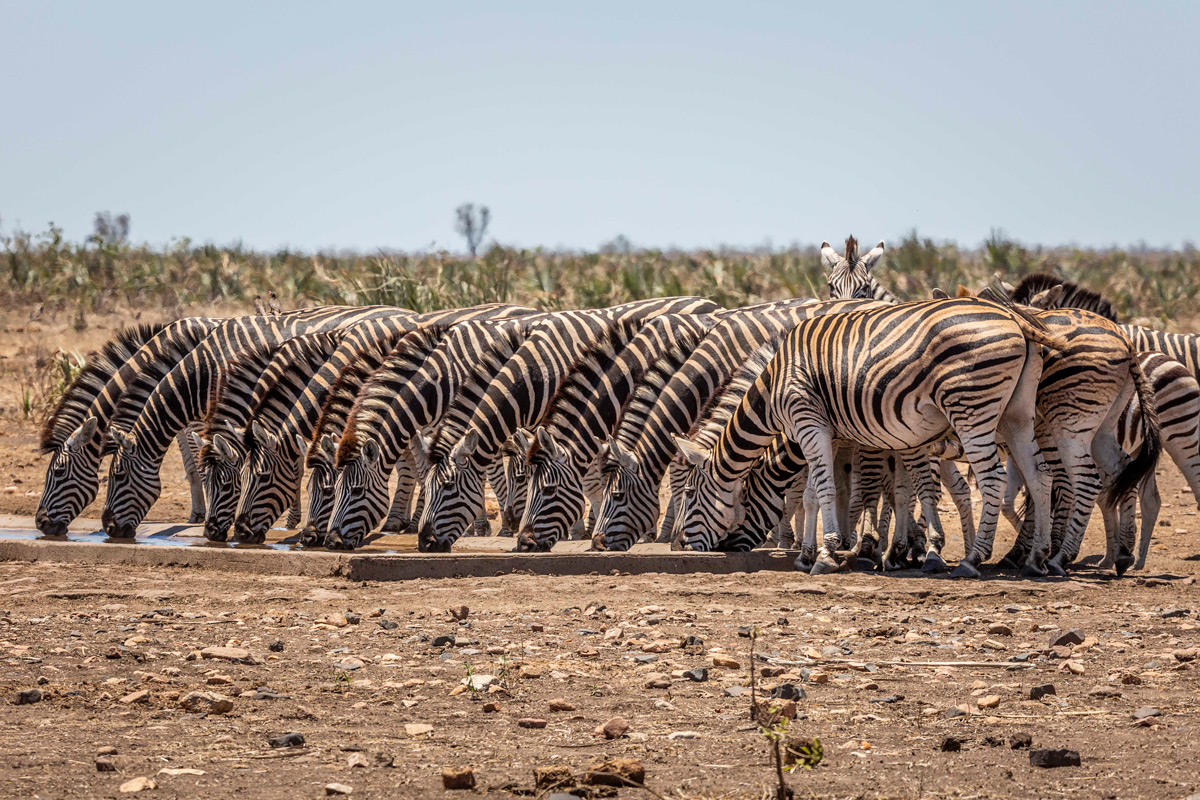 """This herd of zebra waited on the sidelines until the elephants had had their fill and then took the opportunity to fill every available space at the watering hole"" – Kruger National Park, South Africa © Colin Taylor"