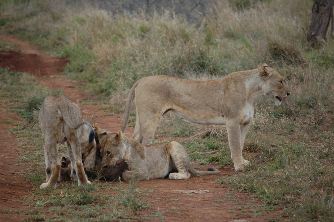 Lion cubs with warthog kill