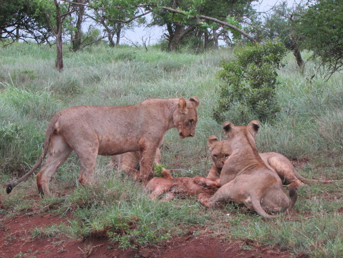 Lion cubs with a wildebeest calf kill