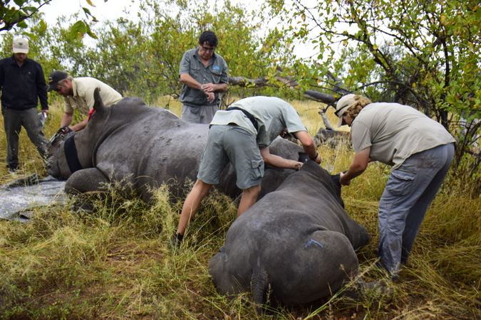Team stabilising rhino and calf