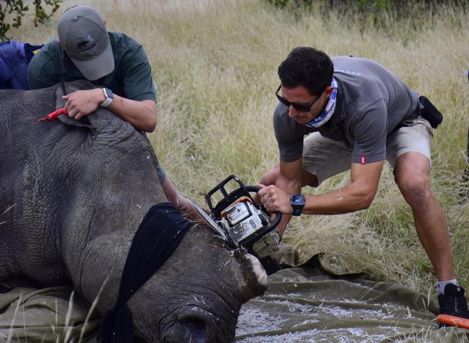 Team dehorning a rhino