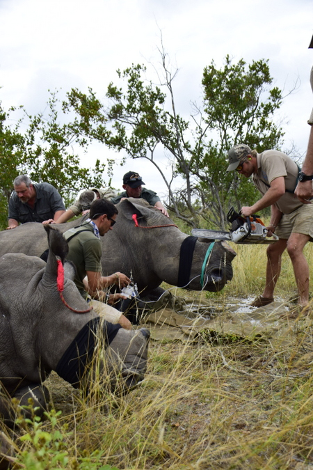 Team dehorning rhinos