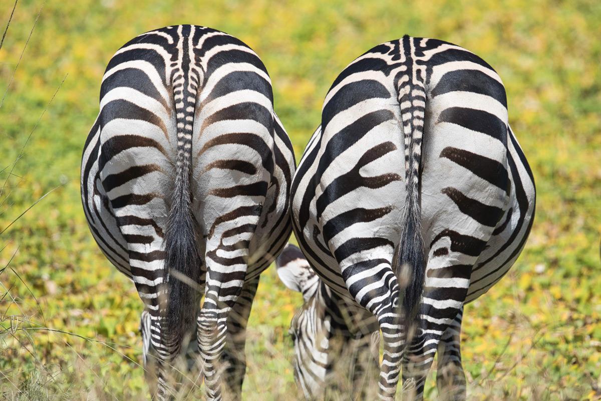 Beautiful rear view of zebras in South Luangwa National Park, Zambia © Daniela Anger