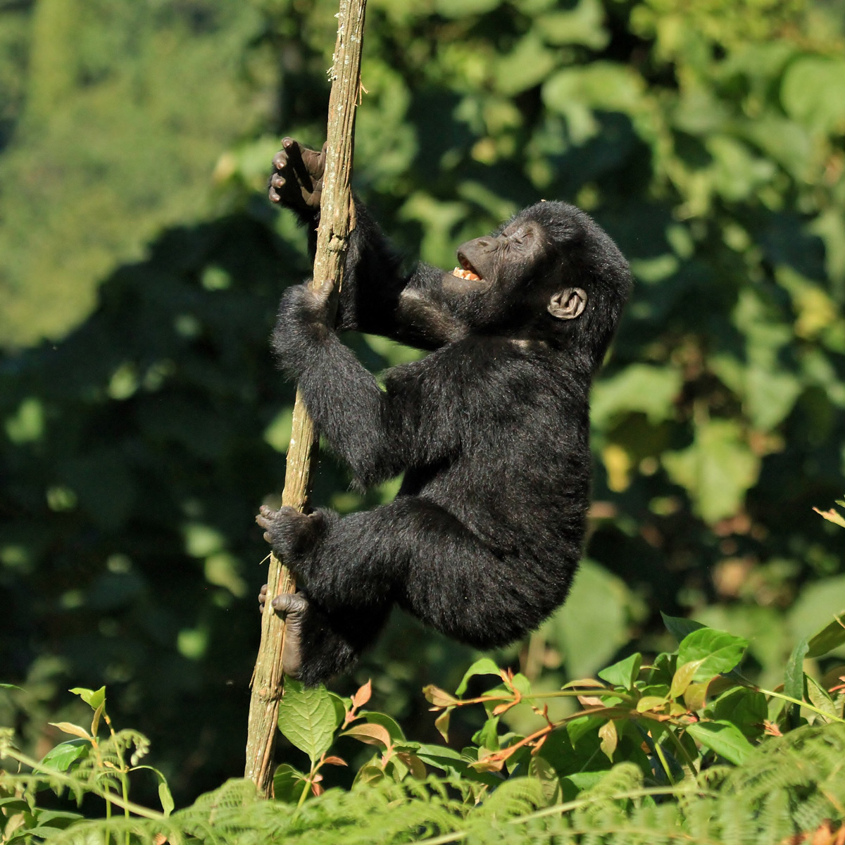 """Children of the forest"" – an infant mountain gorilla climbs a vine in Bwindi Impenetrable National Park, Uganda © Darren Colello"