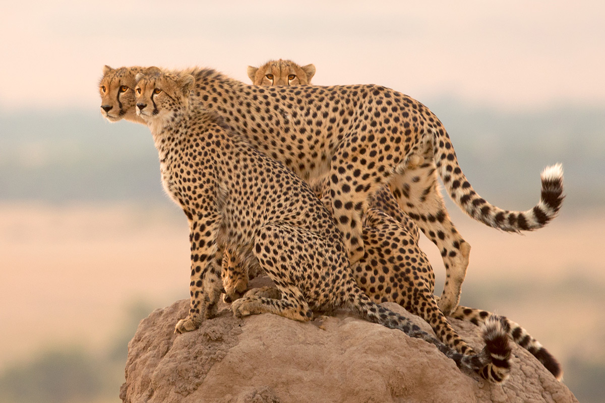 A mother cheetah and her three subadult cubs survey the plains in the late afternoon in Maasai Mara National Reserve, Kenya © Derek Howes