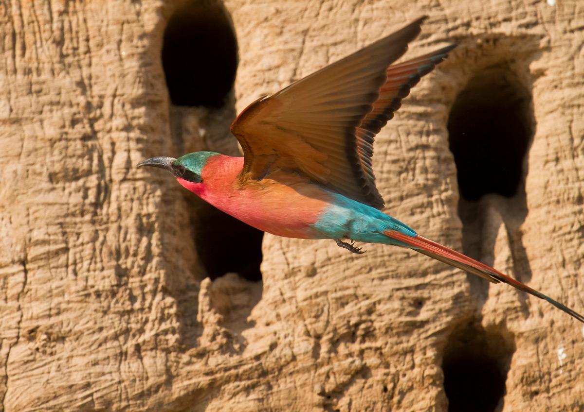 A carmine bee-eater in flight to its burrow in South Luangwa National Park, Zambia © Edward Rogowski