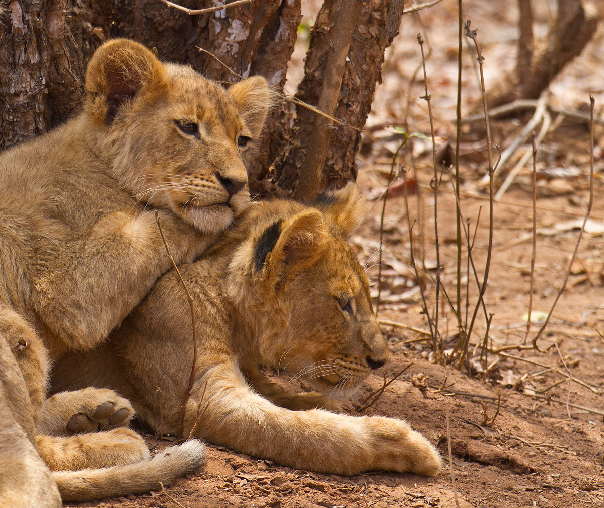"""Bonded for life"" – lion cubs share a tender moment in Lower Zambezi National Park, Zambia © Edward Rogowski"
