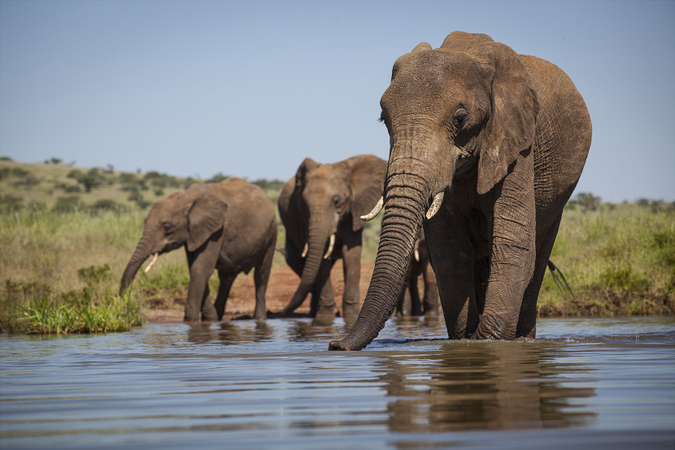 Elephant herd in the water