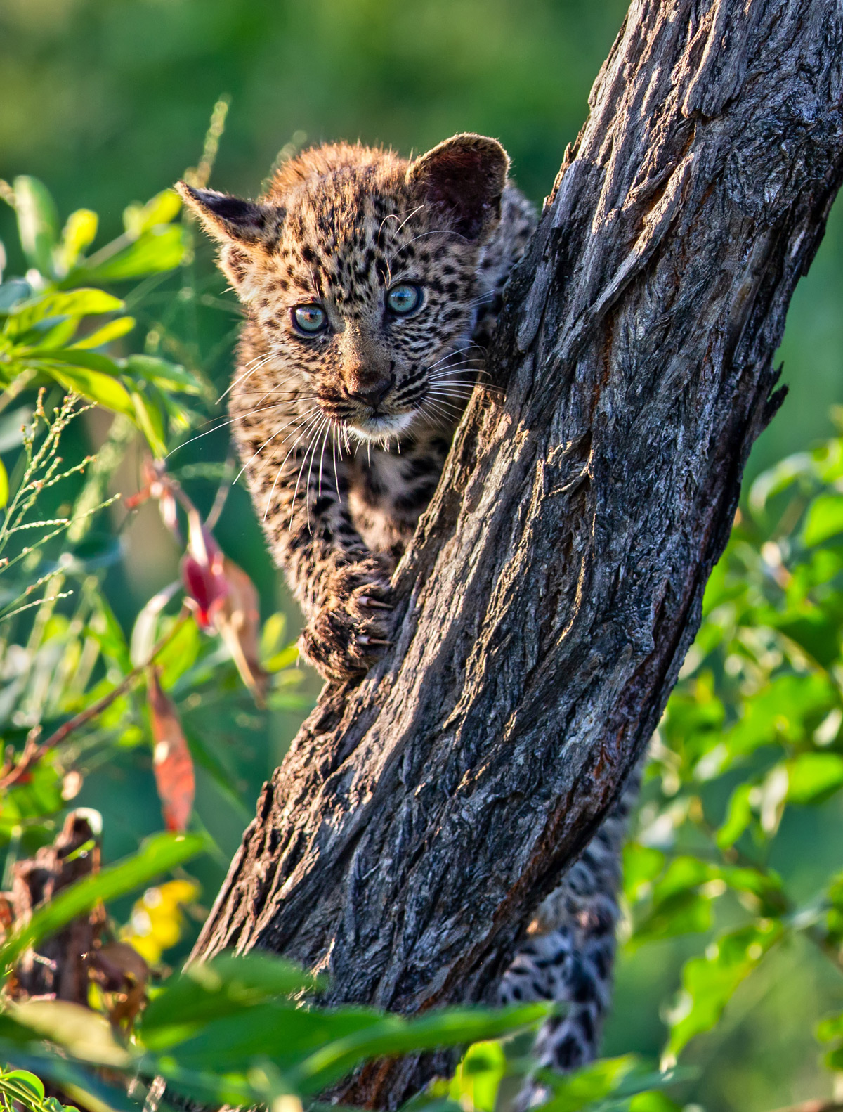 A leopard cub climbs up the nearest tree after mommy charged towards an approaching hyena in Sabi Sands Private Game Reserve, South Africa © Ernest Porter