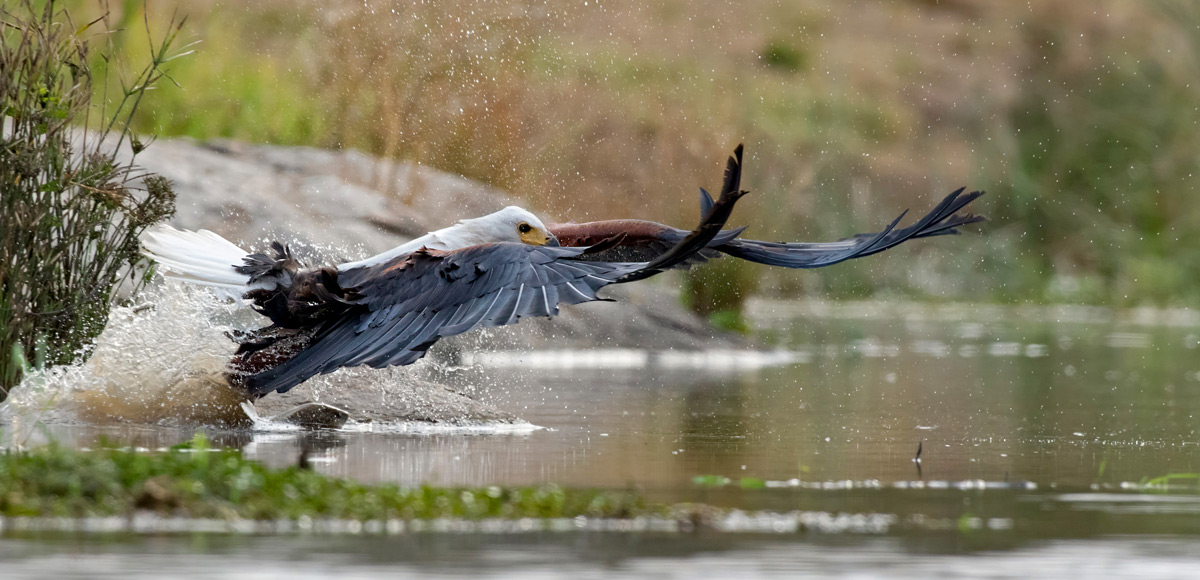"""This fish eagle attempted to catch a fish and missed (you can see the fish just in front the eagle's talons)"" – Kruger National Park, South Africa © Ernest Porter"