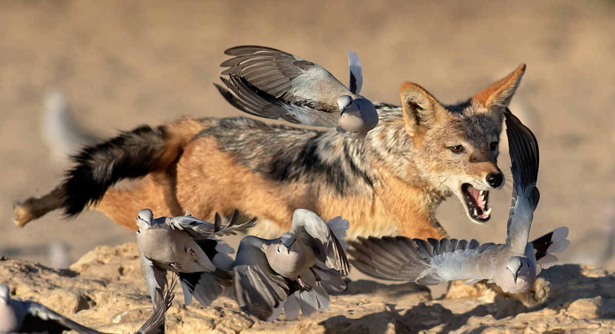 A black-backed jackal charges after ring-necked doves at Cubitje Quap waterhole in Kgalagadi Transfrontier Park, South Africa © Ernest Porter