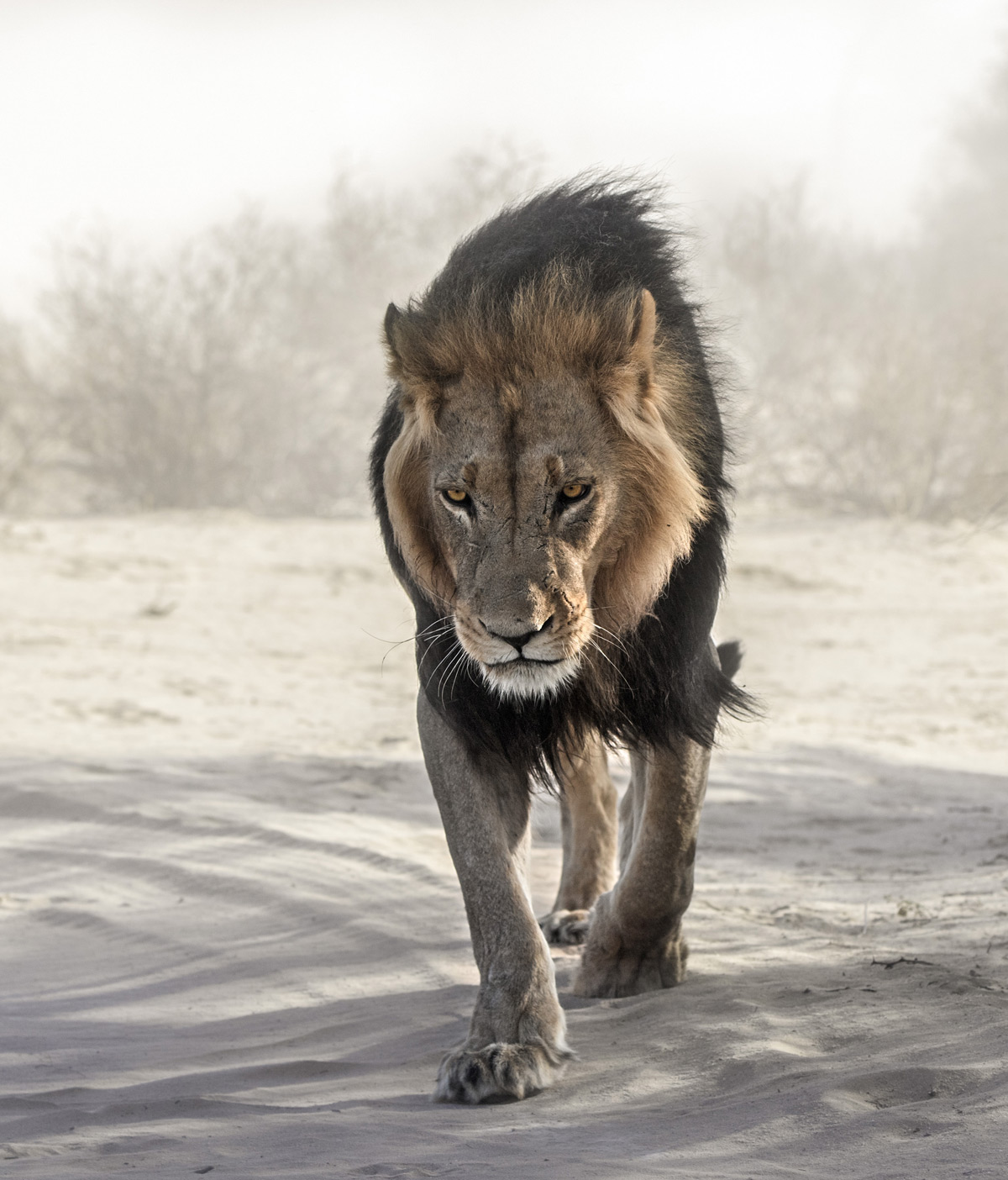 A stunning black-maned lion walks towards the photographer in a spectacular dust storm in Kgalagadi Transfrontier Park, South Africa © Ernest Porter