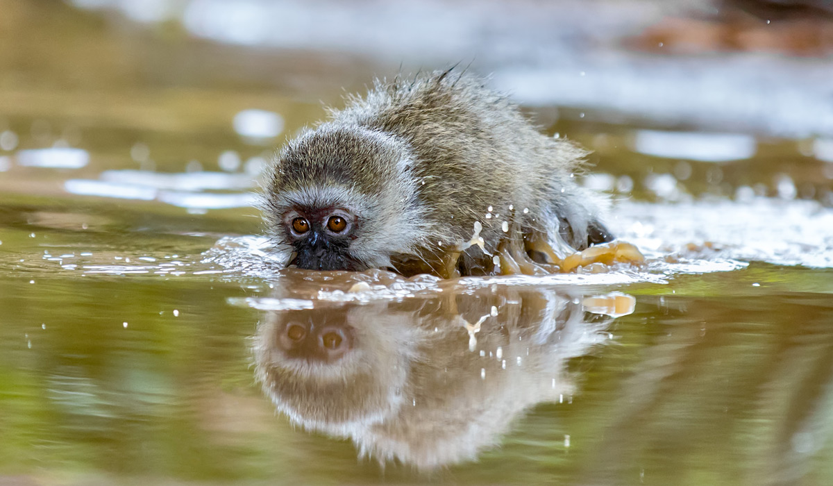"""Monkey submarine"" – a juvenile vervet monkey plays in a puddle of rain water in Kruger National Park, South Africa © Ernest Porter"