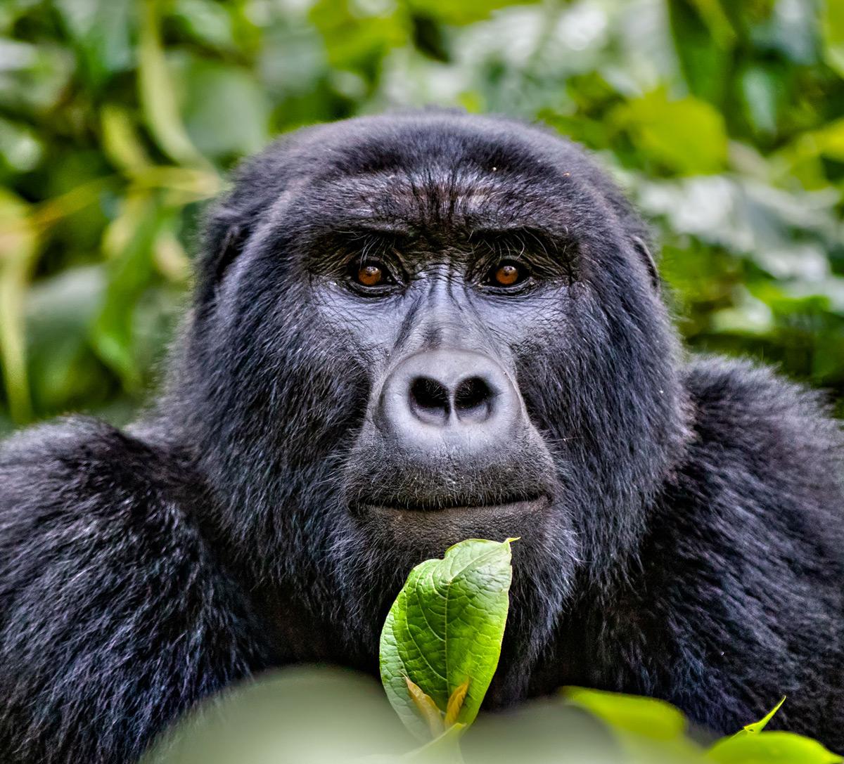 Portrait of a mountain gorilla in Bwindi Impenetrable National Park, Uganda © Ernest Porter