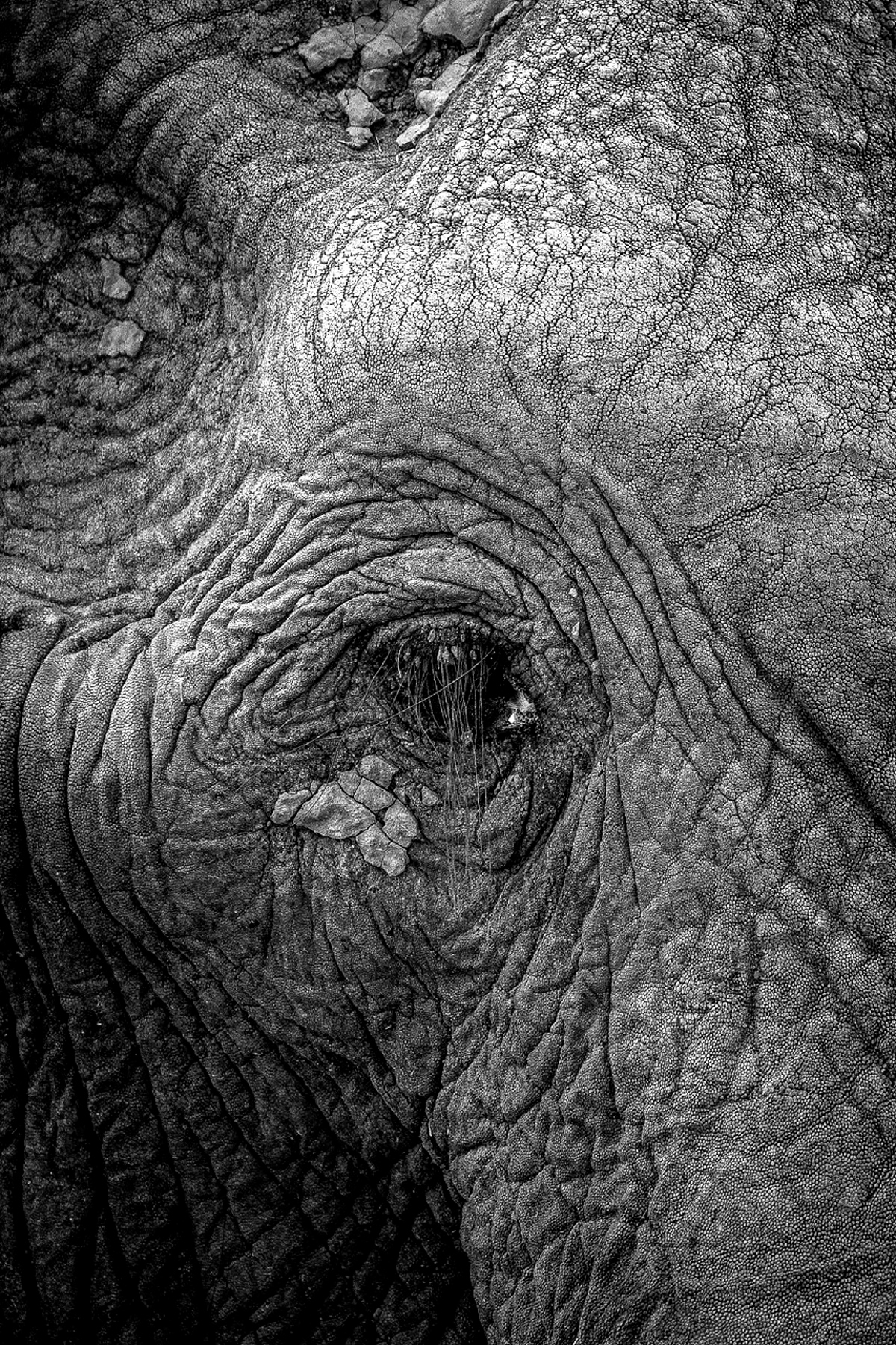 A close up of an elephant bull's head in Savuti, Botswana © Fred von Winckelmann