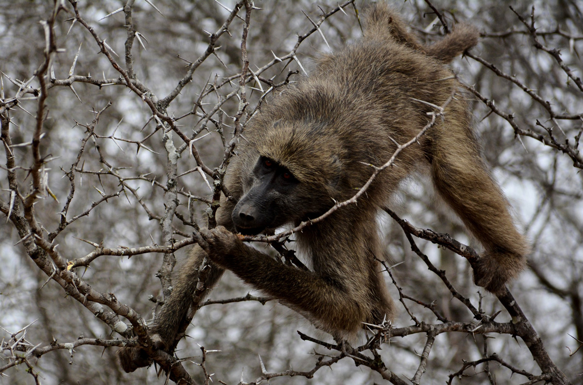 A hungry baboon climbs between the thorns to chew the bark of an acacia tree in Kruger National Park, South Africa © Gabriella Kiss