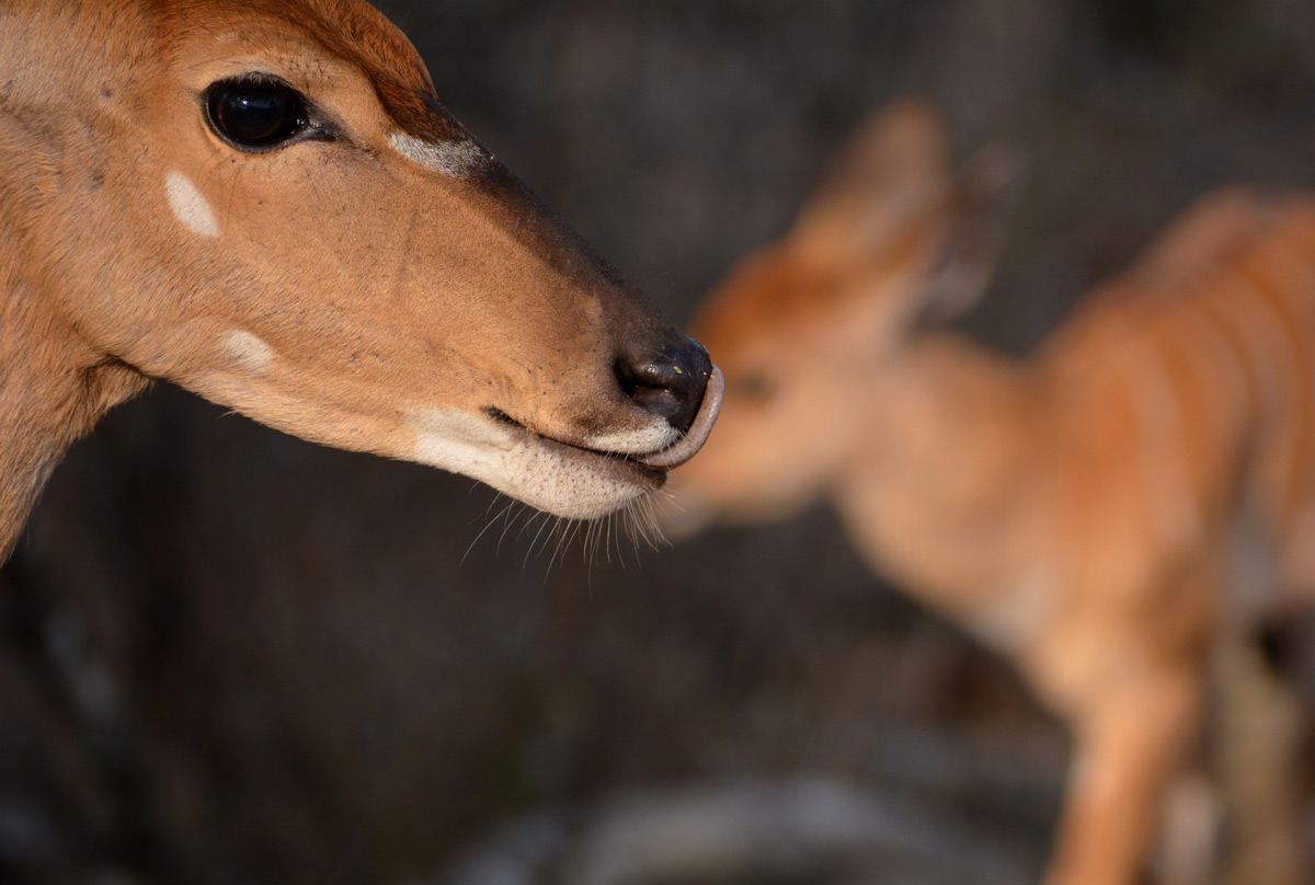 A female nyala with her newborn in Kruger National Park, South Africa © Gabriella Kiss