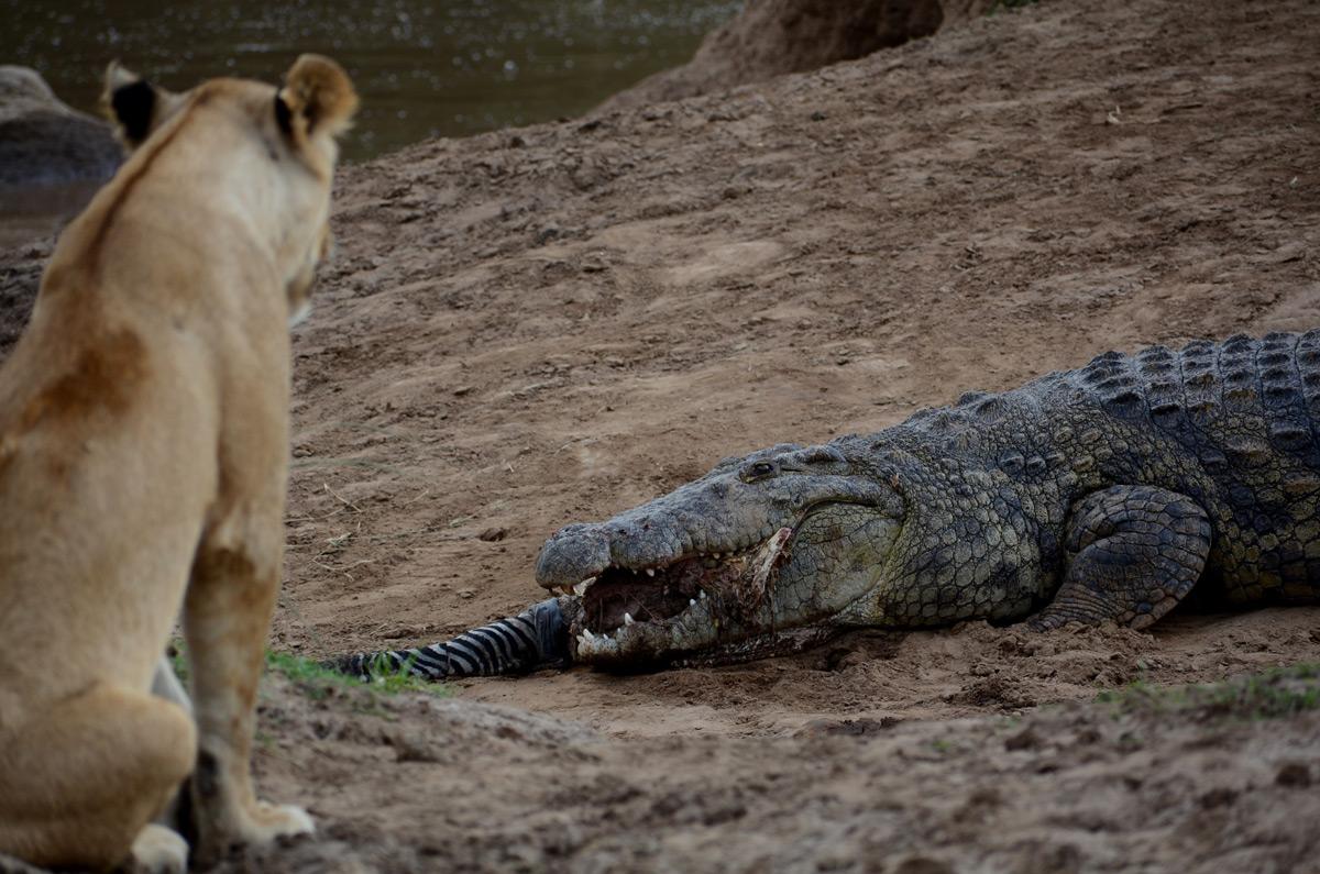 A lioness watches on as a crocodile struggles to get down the last of a zebra's hind leg in Maasai Mara National Park, Kenya © Gabriella Kiss