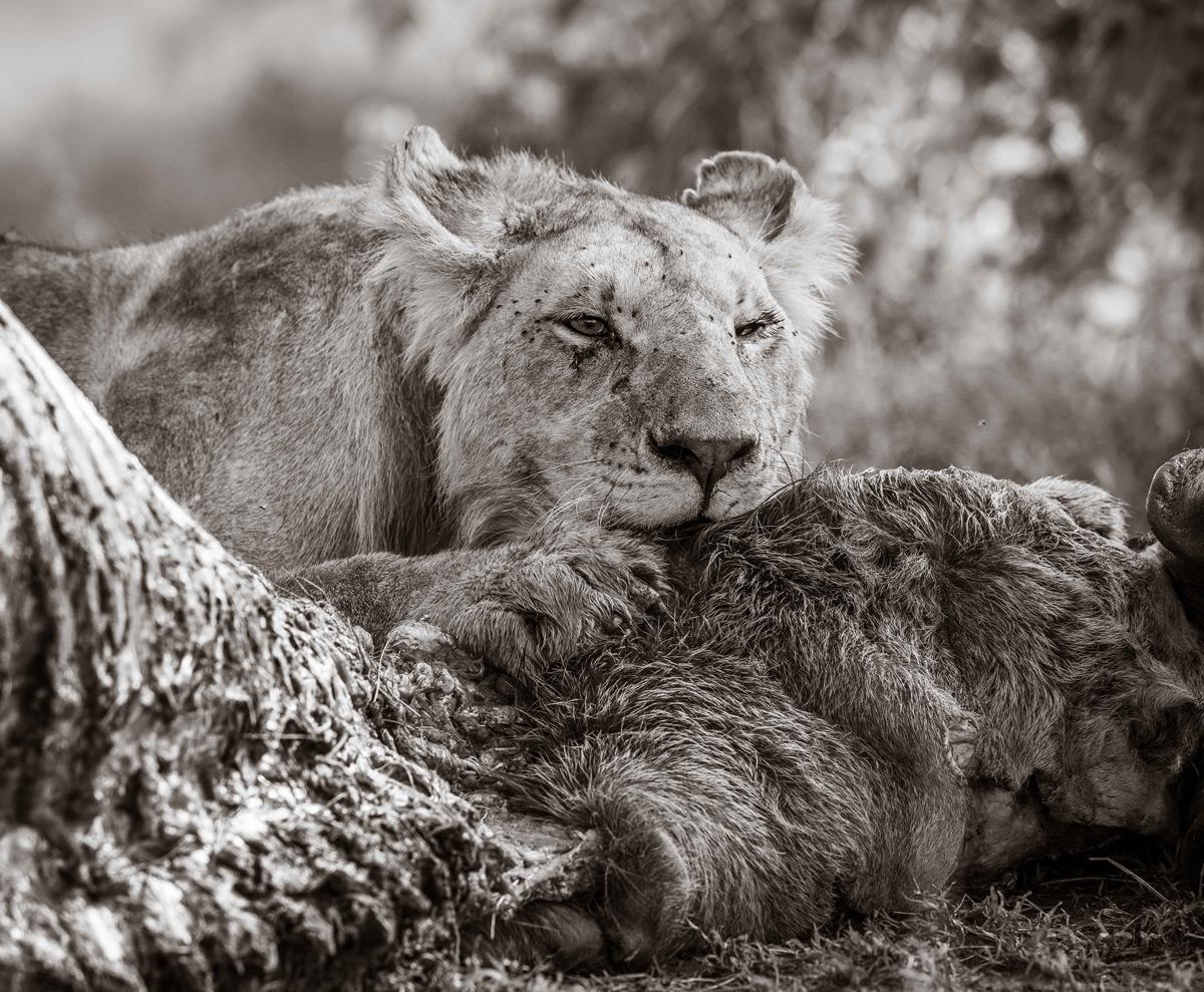 A lioness tucks into her breakfast in Maasai Mara National Reserve, Kenya © Georgiana Steiger