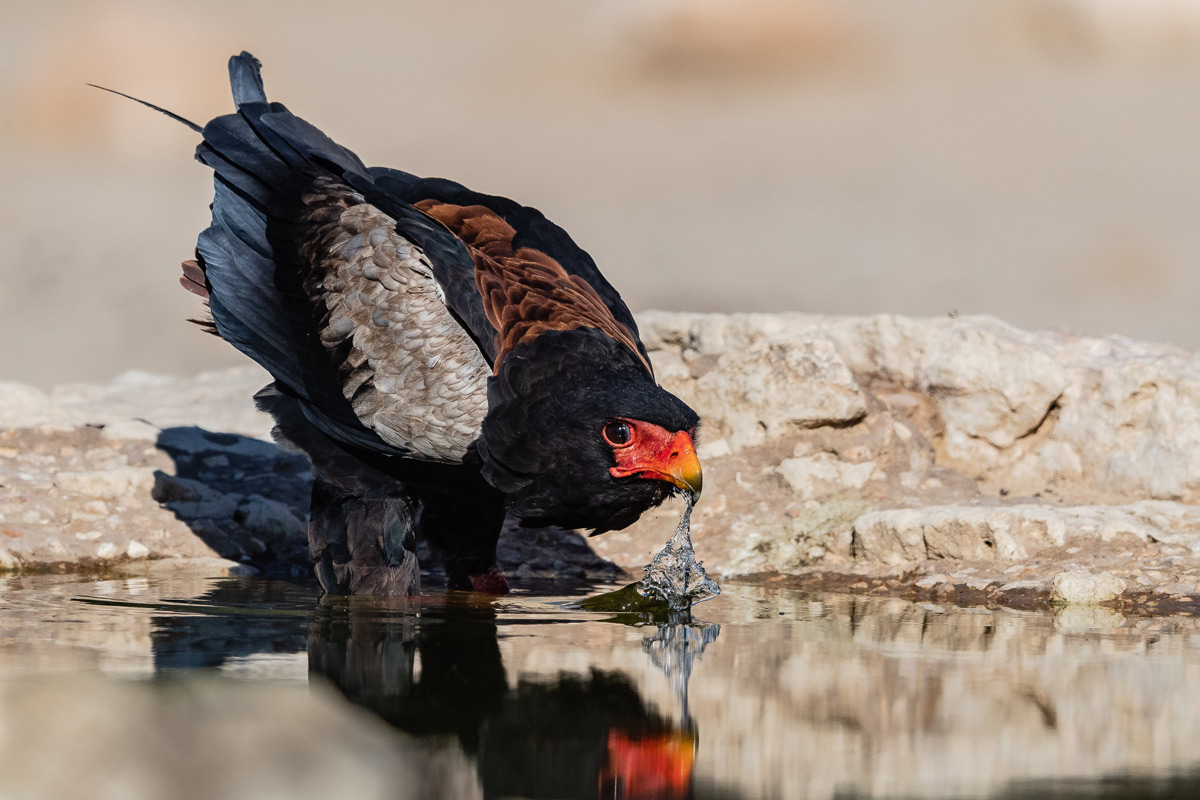 A bataleur drinks at a waterhole in Kgalagadi Transfrontier Park, South Africa © Gerald Knight
