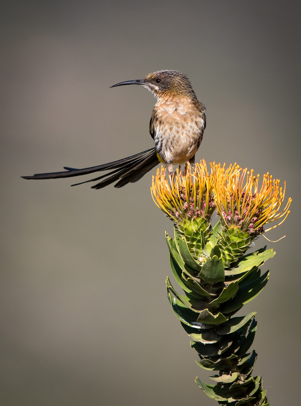 A male Cape sugarbird on a pincushion flower in the Slanghoek Valley, Western Cape © Gideon Malherbe