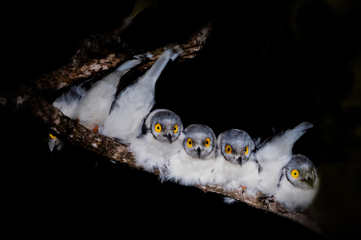 Seven white-crested helmetshrikes sit close together on a branch to protect them from the cold of the Lowveld night in Sabi Sands Private Game Reserve, South Africa © Gideon Malherbe