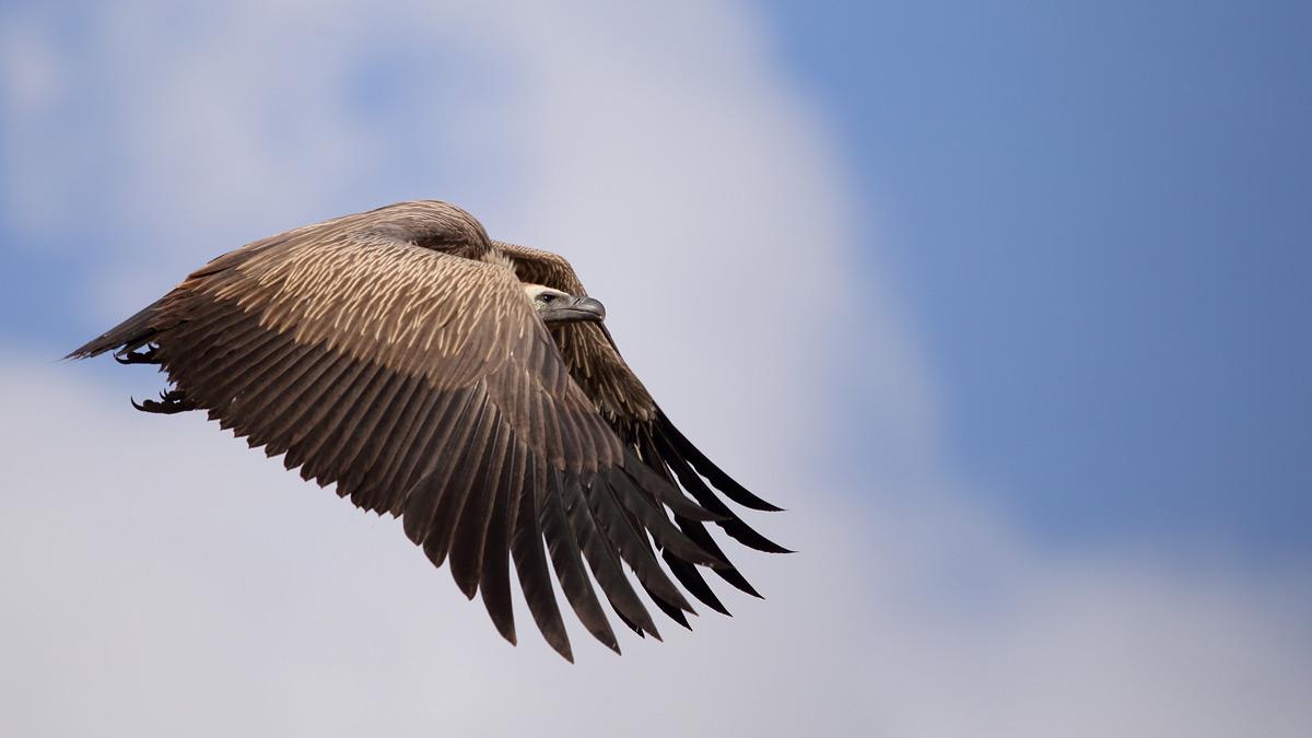 Avulture takes flight in Kruger National Park, South Africa © Guy Scott