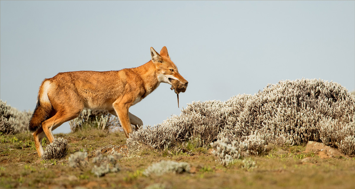 An Ethiopian wolf with an Abyssinian grass rat in the Bale Mountains National Park, Ethiopia © Hesté de Beer