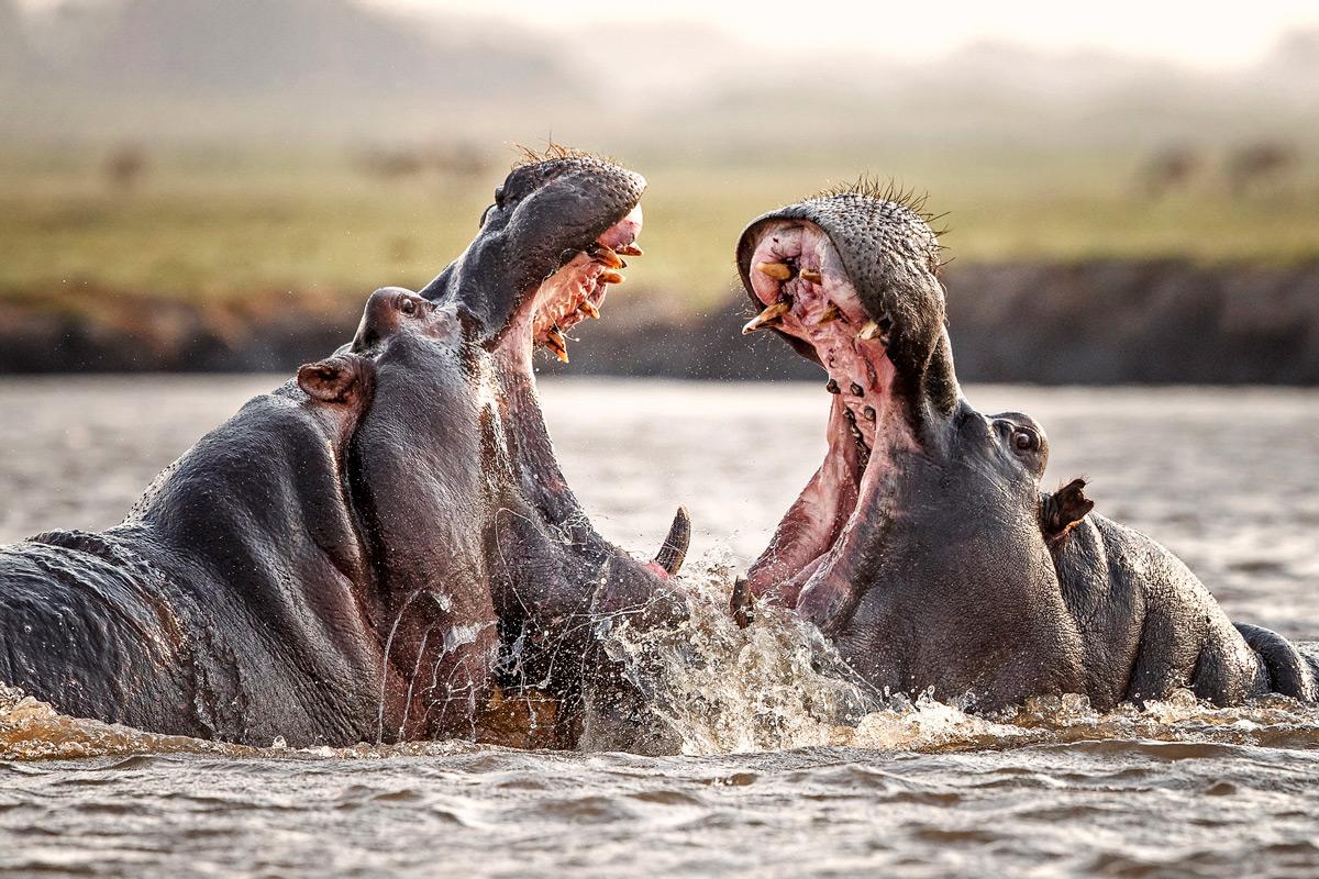 Hippo bulls fight in the Chobe River, Botswana © Hilda le Roux