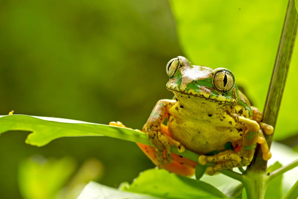 A Natal tree frog sits on a leaf in a banana farm in KwaZulu-Natal, South Africa © Ingrid Sellschop