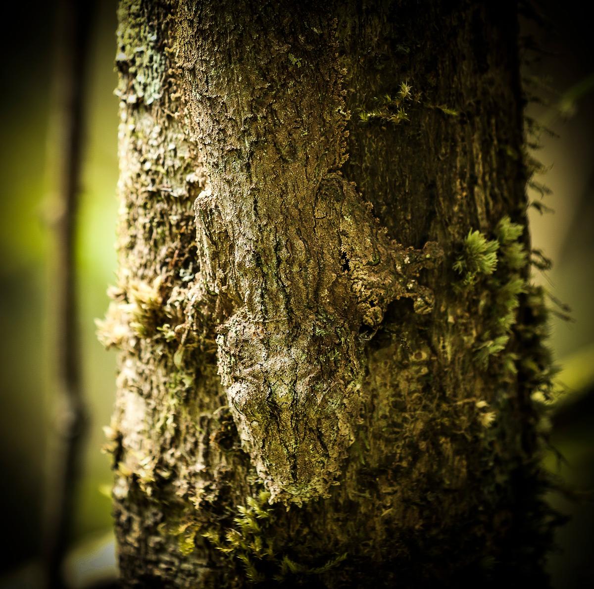 A leaf-tailed gecko spotted in Madagascar © Jennifer Vitanzo