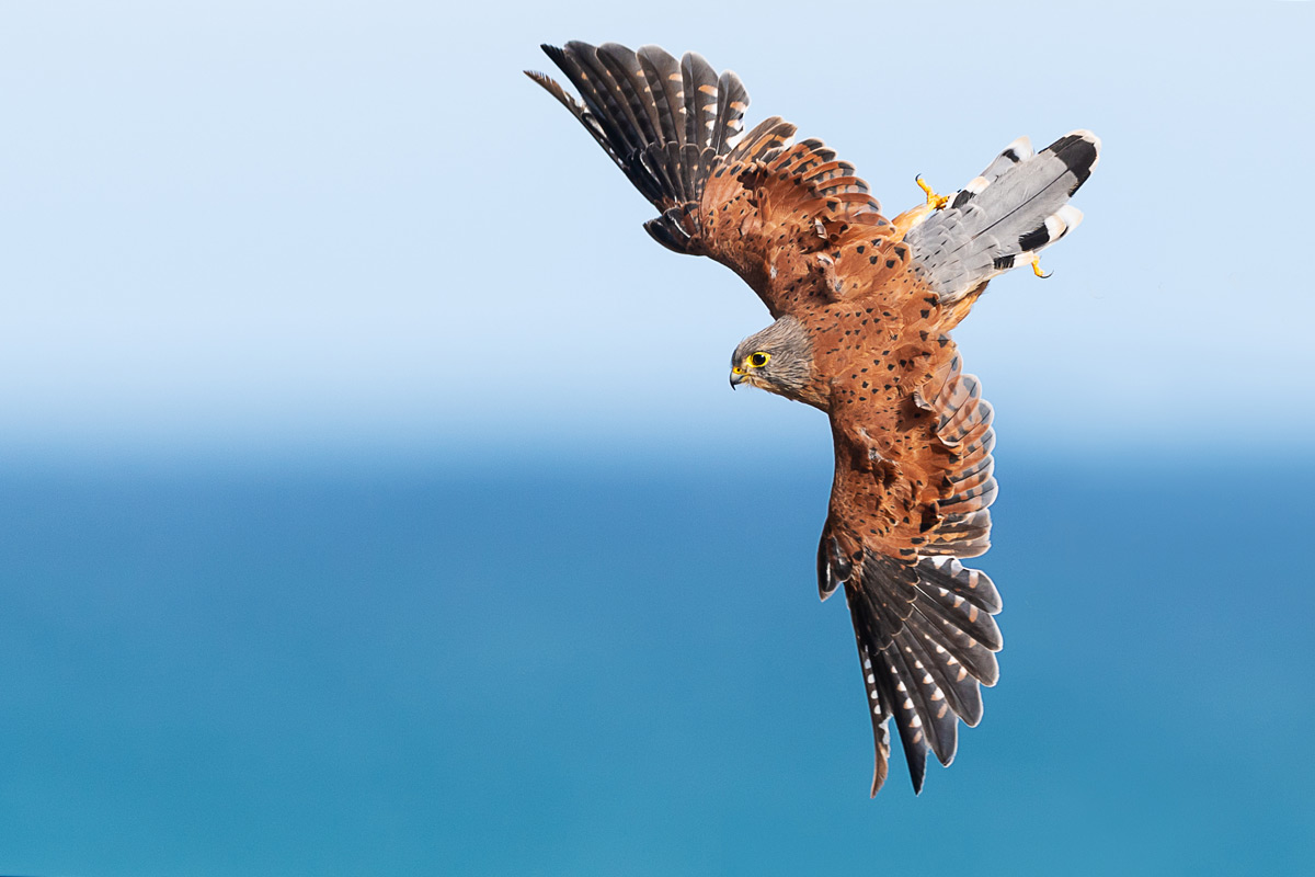 A rock kestrel searches for prey by the coast in the Agulhas region, South Africa © Johan Mocke