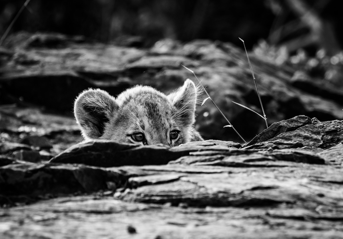 A lion cub stalks his mom while hiding the rocks in Zimanga Private Game Reserve, South Africa © Jon Warburton