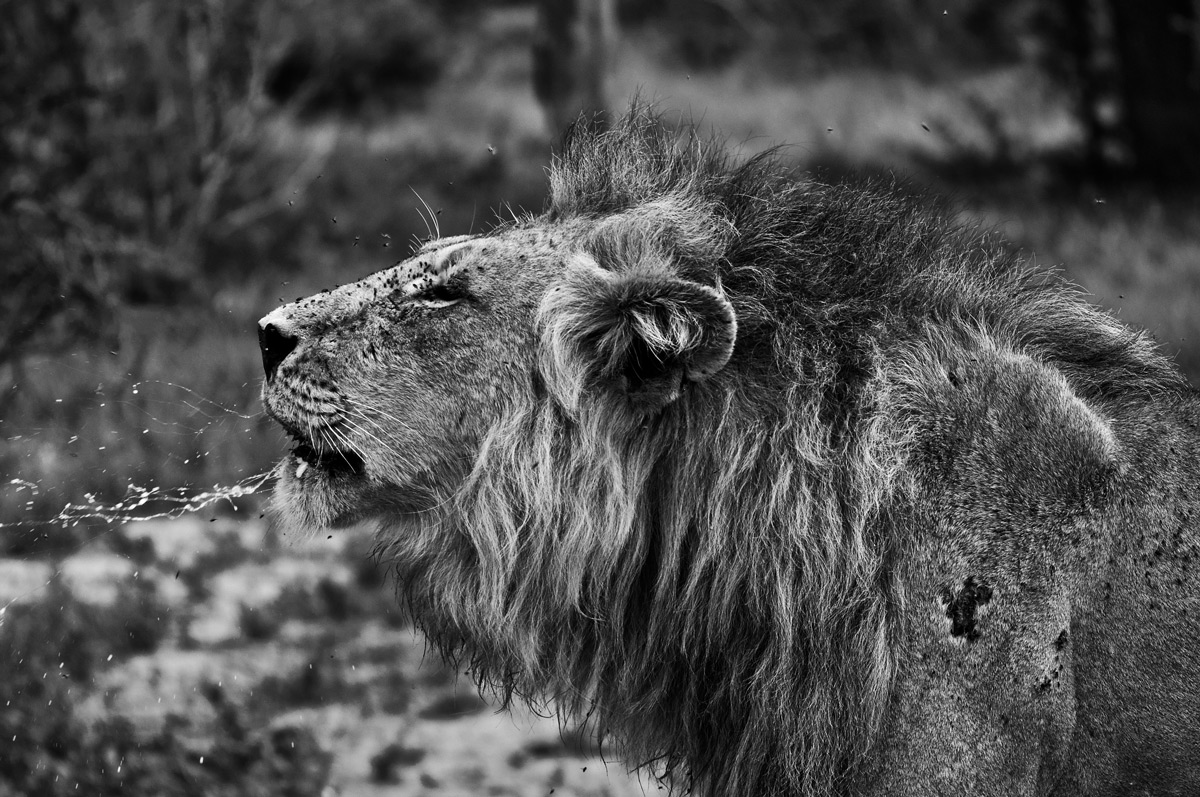 """The power of a lion's roar is immense. It's always one of the best things to hear when in the bush. Such a distinctive and mesmerising sound"" – Kruger National Park, South Africa © Justin Thorne"