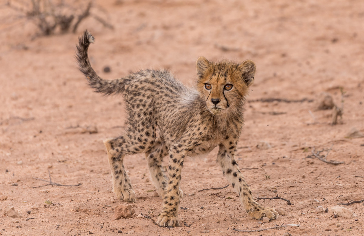 """""""A young cheetah startles at something. He's too young to know what should scare him or not, so everything is scary"""" – Kgalagadi Transfrontier Park, South Africa © Karen Blackwood"""