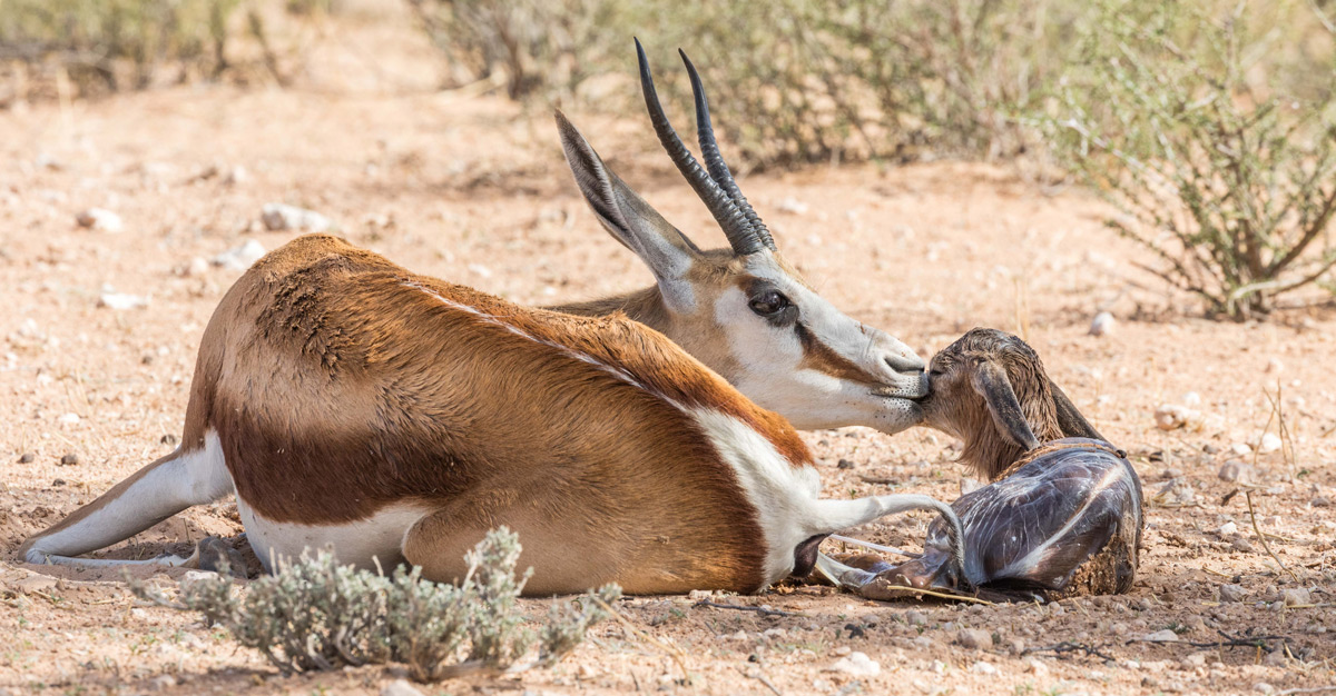 A springbok welcomes her newborn on the red sands of the Kgalagadi Transfrontier Park, South Africa © Karen Blackwood