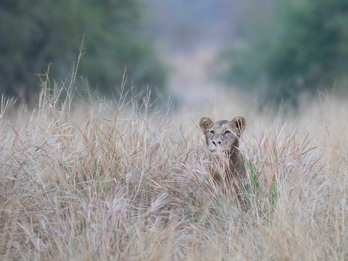 A young lion – the only male in a pride of 15 – peers over the long grass in Sabi Sands Private Game Reserve, South Africa © Karen Blackwood