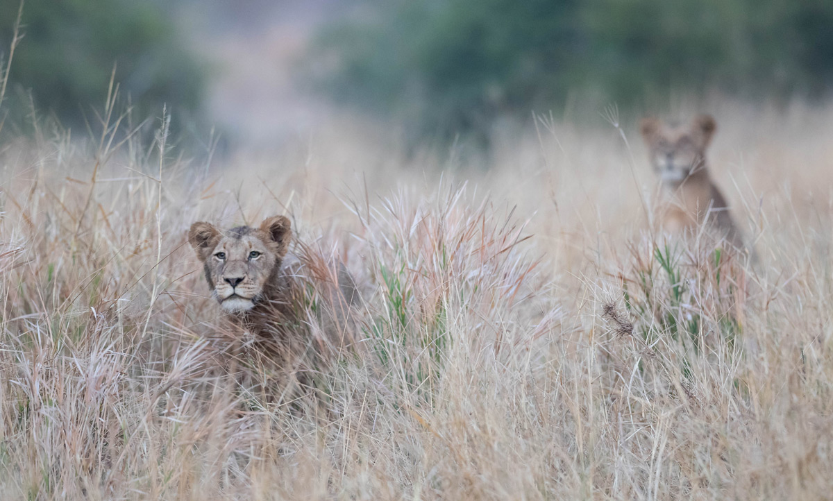 """""""A young lioness watches her brother – the only male lion in a pride of 15 – practice stalking"""" in Sabi Sands Private Game Reserve, South Africa © Karen Blackwood"""