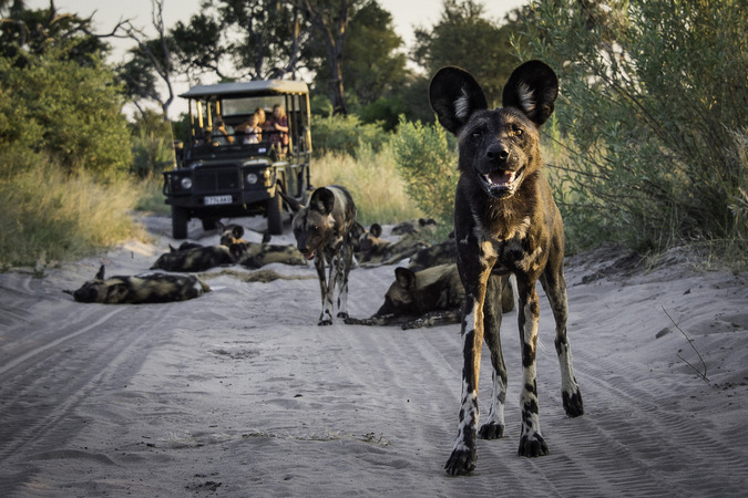 Pack of painted wolves (African wild dogs)
