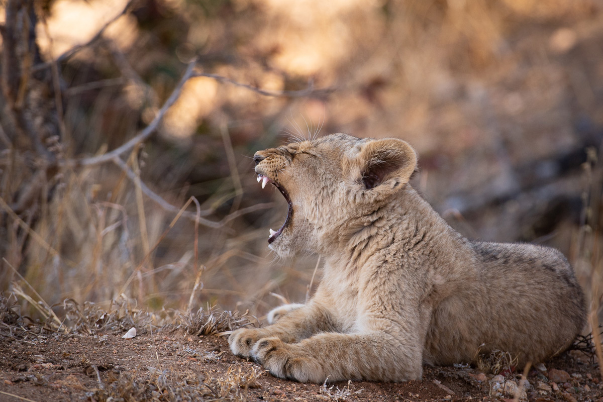 A lion cub yawns in Timbavati Private Nature Reserve, South Africa © Luke Street