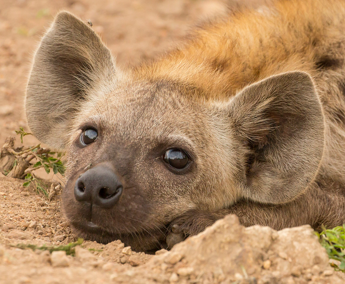 A young hyena rests in Kruger National Park, South Africa © Lynne Wilde
