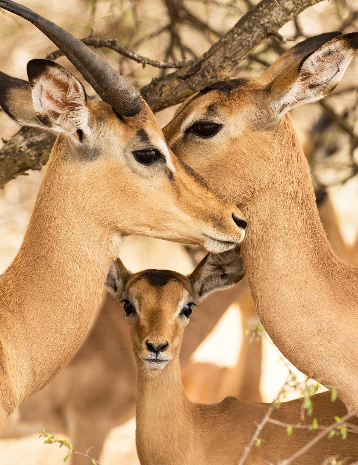 """Triangle of love!"" – an impala mother shows off her calf in Kruger National Park, South Africa © Lynne Wilde"